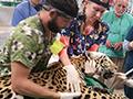 vets treat jaguar