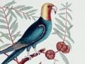 Parrot of Carolina